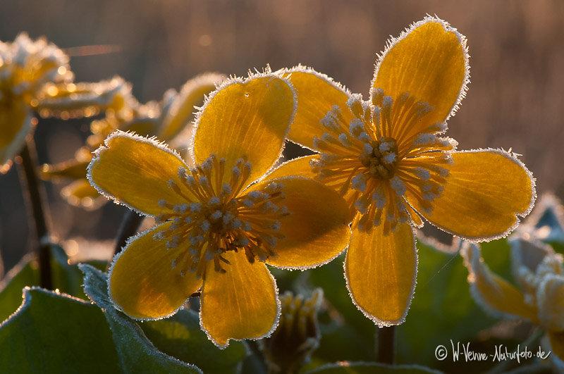 Sumpf-Dotterblume mit Rauhreif